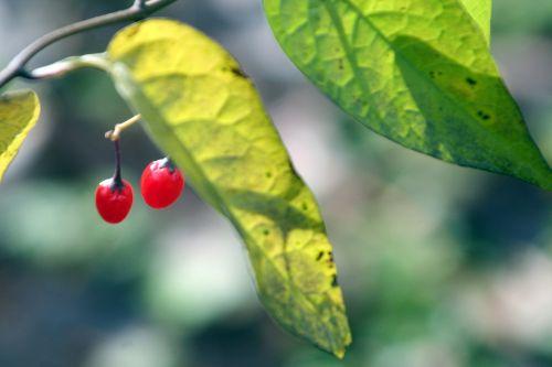 morelle douce fruits romi 5 nov 074.jpg