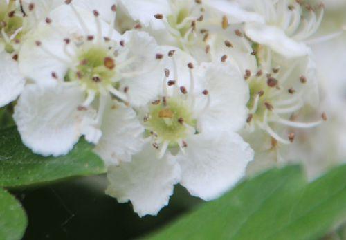 crataegus laev fleurs marnay 8 mai 2014 086.jpg