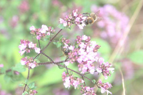 abeille origan 15 juil 2014 003.jpg