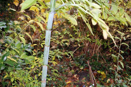 5 dahlia arborea veneux 11 nov 2012 005.jpg