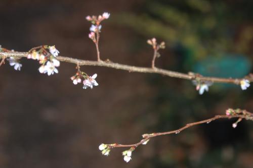 2 prunus subhirtella  autumnalis veneux 1 dec 2015 001 (2).jpg