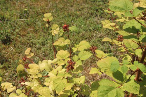 rubus phoenicolasius barres 27 juillet 2013 080 (3).jpg