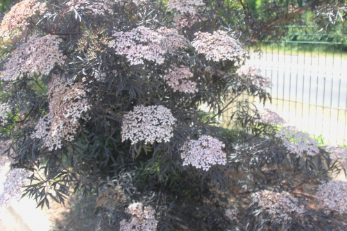 3 black lace veneux 31 mai 2017 057 (3).jpg