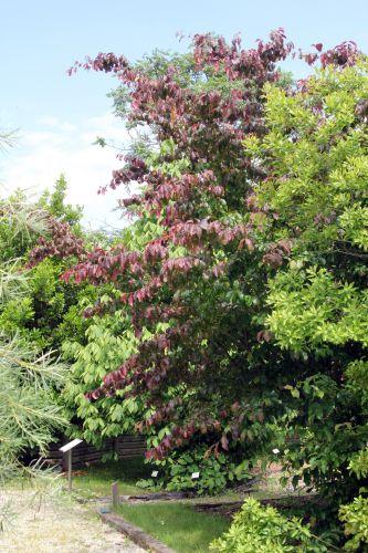 3 parrotia persica 30 juin 2012 131.jpg