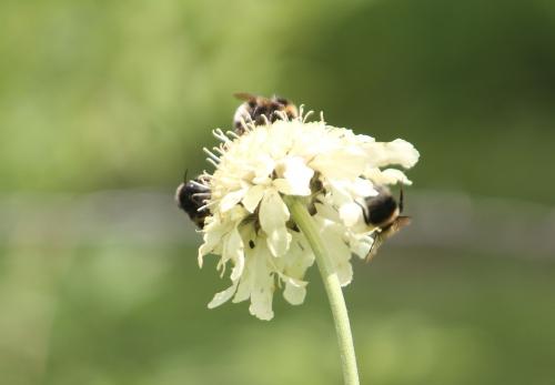 3 cephalaria romi 15 juin 2011 064.jpg