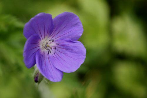 4 geranium orion romi 30 mai 2012 010.jpg