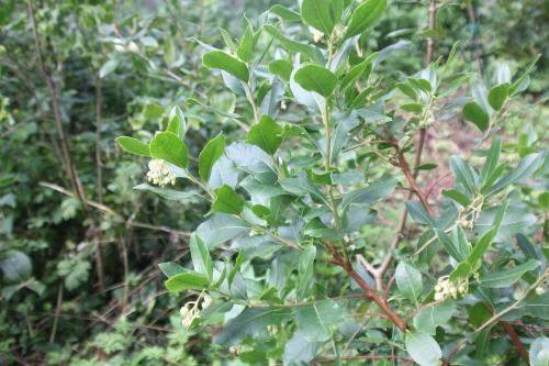 1 arbutus andrachnoides veneux 11 sept 2017 001 (1).jpg