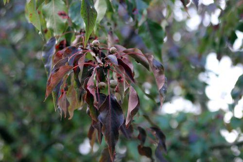 1 pyrus calleryana barres 12 oct 2013 052.jpg