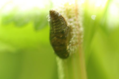 5 larve romi 18 mai 2014 004.jpg