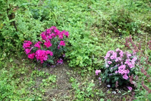 1 phlox romi 26 juil 2011 061 (1).jpg