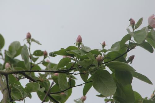 1 cydonia vranja veneux 10 avril 2017 006.jpg