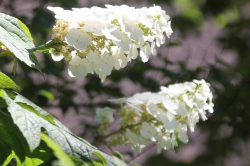 20 hydrangea quercifolia veneux 29 juin 2018 002 (2).jpg