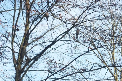 1 pigeons tourterelles veneux 7 dec 2016 006.jpg