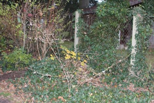 1 prunus subhirtella  autumnalis veneux 1 dec 2015 001 (1).jpg