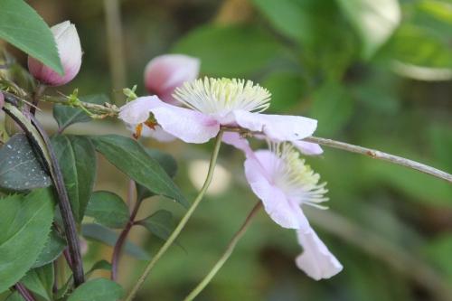 32 clematis montana fragrant spring veneux 22 avril 2015 010.jpg