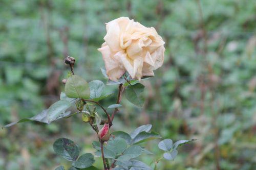 rose romi 4 nov 2012 015.jpg