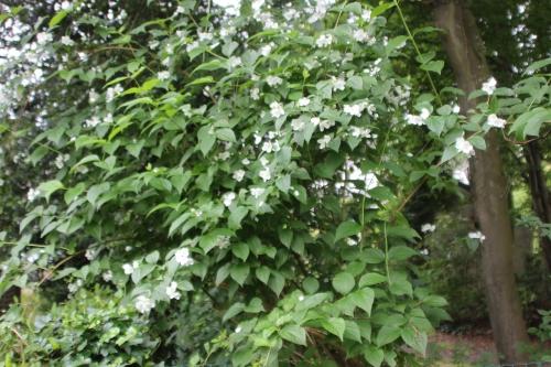 2 philadelphus coro veneux 12 juin 2016 007.jpg