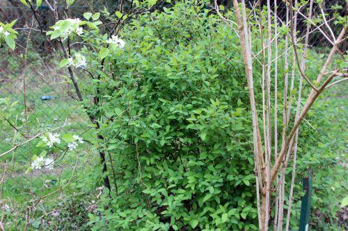 2 lonicera caerulea romi 6 avril 2014 013 (1).jpg