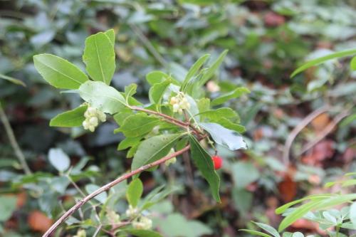 arbutus andrachnoides veneux 14 nov 2016 020 (6).jpg
