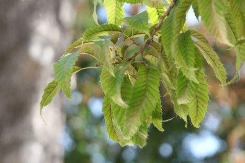 3 quercus acutissima paris 3 sept 2011 165.jpg
