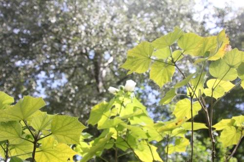 3 hibiscus paramutabilis romi 12 sept 2017 004.jpg