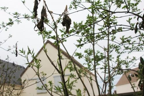 1 sambucus hookeri veneux 30 mars 2018 004.jpg