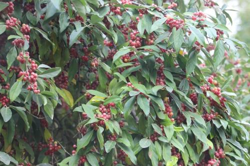 1 elaeagnus umbellata  barres 12 oct 2013 018 (6).jpg