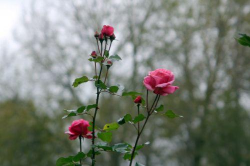 rose romi 4 nov 2012 008.jpg