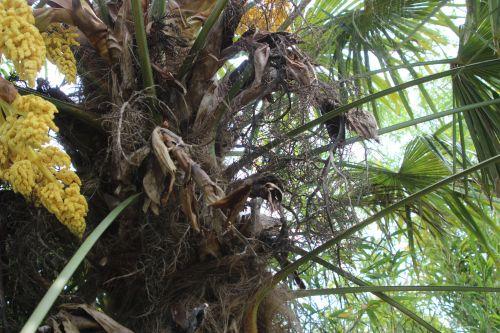 trachycarpus a marnay 1 juin 2013 011.jpg