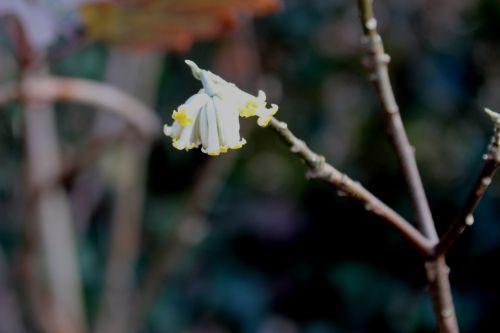 edgeworthia veneux 7 fev 2014 015 (5).jpg