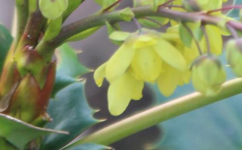 5 mahonia japonica fl veneux 3 mars 2017 IMG_2669 (3).jpg