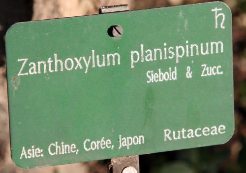3 zanthoxylum planispinum paris 16 jan 223.jpg