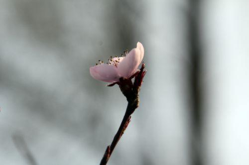 pourpre 2 romi 24 mars 2012 071.jpg