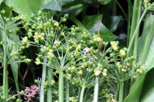 1 allium ursinum veneux 10 juin 2012 003.jpg