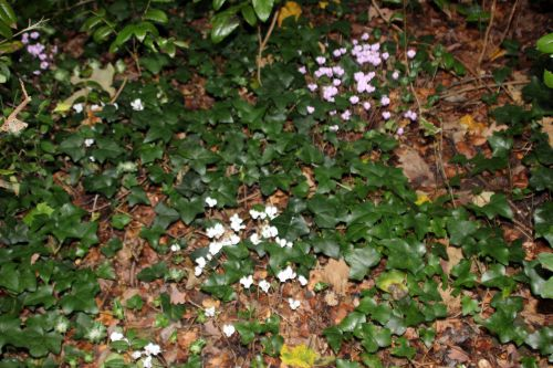 3 cyclamen hed  9 oct 2013 003 (13).jpg
