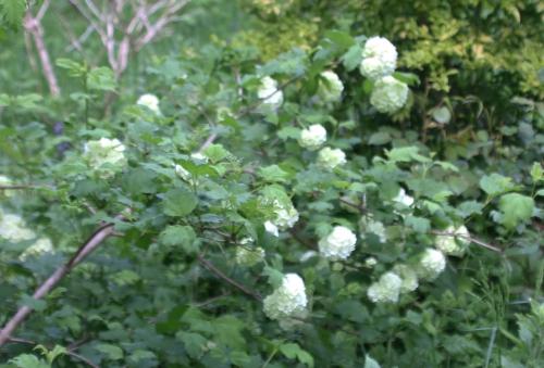 12 vib op roseum rec romilly 7 mai 2015 041 (1).jpg