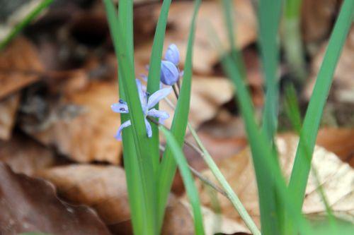 scilla 2 bifolia veneux 25 fev 2014 017.jpg
