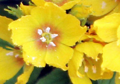 4 lysimachia punctata fl paris 23 juin 2012 p 316.jpg