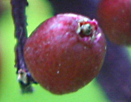 coreana 1 fruit pp romi 15 juin 2010 020.jpg