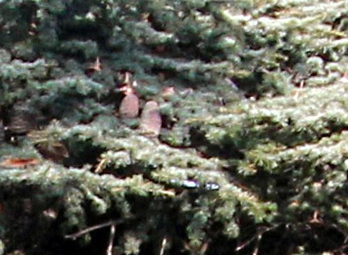 7 cedrus libani cones paris 24 sept 2011 p 052.jpg
