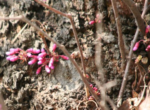 cercis siliquastrum tronc paris 6 avril 185.jpg