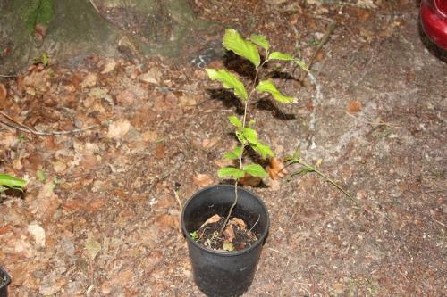 parrotia persica 10 juin 2012 002.jpg