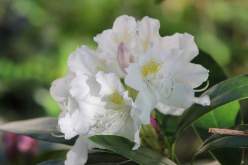 30 rhodo cunningham's white veneux 22 avril 2015 004.jpg