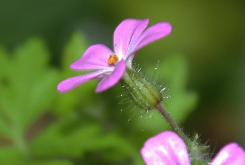 7 geranium robert veneux 29 avril 2014 009.jpg