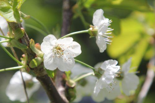 4 cerisier romi 29 avril 2013 045 (1).jpg
