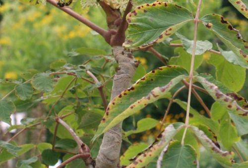 aralia spinosa tige 12 août 021.jpg