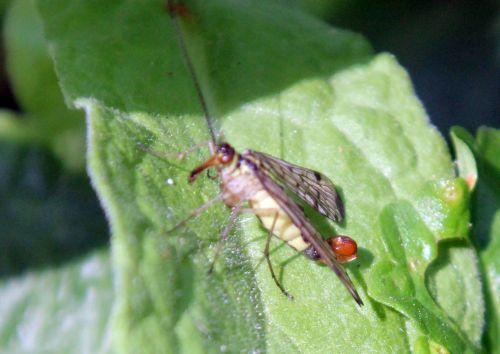6 mouche scorpion romilly 4 août 2012 051.jpg