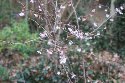 prunus autumnalis veneux 23 fev 2017 010.jpg