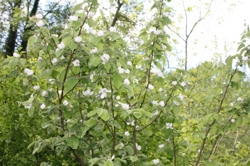 a cydonia krymsk 1 romilly 7 mai 2015 024 (2).jpg