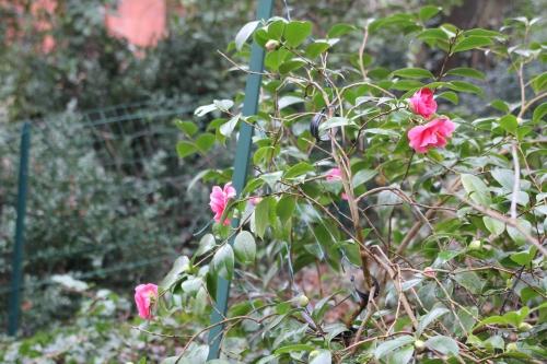 camellia gloire veneux 29 janv 2015 013.jpg